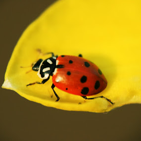 Spring Ladybug by Krys George - Nature Up Close Other Natural Objects ( red, bug, yellow, ladybug, insect,  )