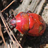 Ground Shield Bug