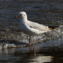 Sea Gull - Common Black-headed Gull