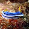 Nudibranch - C. lochii