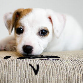 Chauncey by Dejan Stanic - Animals - Dogs Puppies ( jack russell, puppy, dog, cute, posing,  )