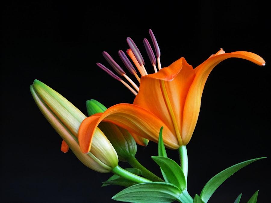Lilium2014-16 by Asif Bora - Flowers Single Flower (  )