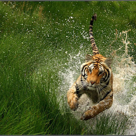 Cat attack by Romano Volker - Animals Lions, Tigers & Big Cats (  )