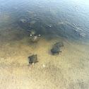 Western Caspian Pond Turtle