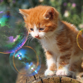 by Maja  Marjanovic - Animals - Cats Playing ( cats, cat, kitten, animals, bubbles, kittens, kitty,  )