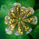Eranthis seeds