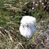 Cotton Sedge