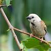 Partial Leucistic Eurasian Tree Sparrow