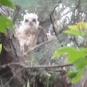 Red-shouldered Hawk (nestling)