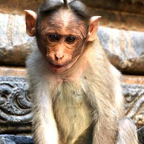 by Ganesh LK - Animals Other ( animal, monkey )