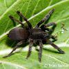 Philippine dwarf tarantula