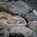 Nothern Pacific Rattlesnake
