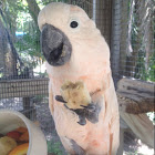 Moluccan or Salmon-crested Cockatoo