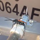Pompilid Wasp