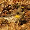 Yellow-rumped Warbler (audubon)