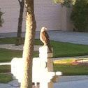 """Red-tailed hawk, """"chicken hawk"""""""