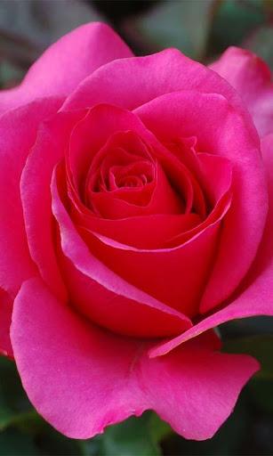3D Love Rose Live Wallpaper