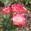 Grandiflora Rose 'Cherry Parfait'