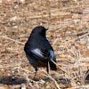 Black-Redstart; Colirrojo Tizón