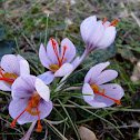 Wild saffron crocus
