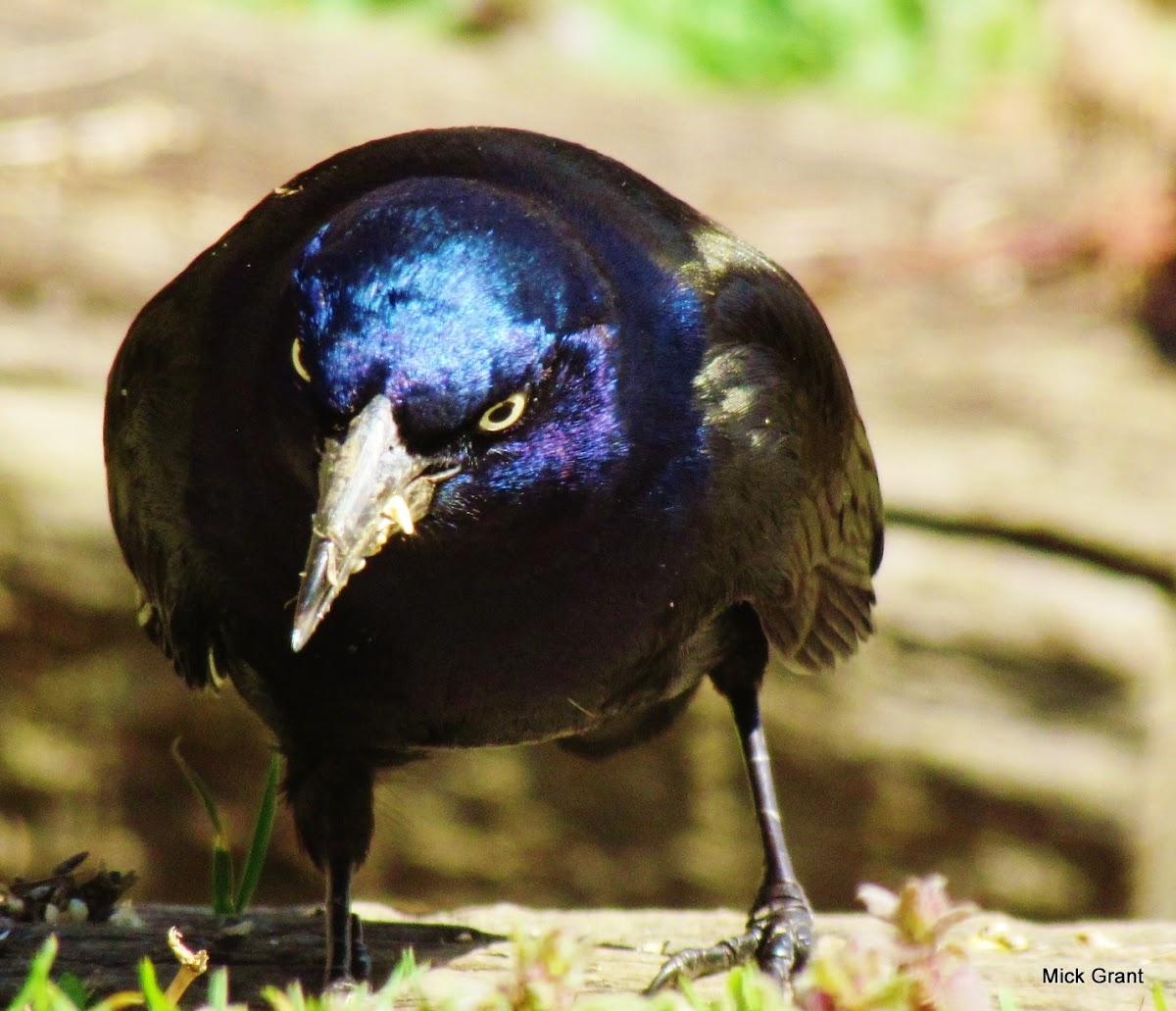 Common Grackle (Eastern versicolor)