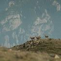 Spanish ibex / Cabra salvaje