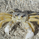 Common Beach Crab