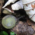 Large tree snail