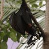 Indian flying fox bat