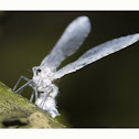 Waxy snout bug