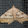 Dissomorphia  Moth