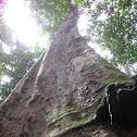 Couratari tree