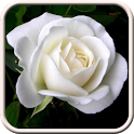 White Roses Live Wallpaper icon