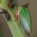 Horned treehopper - female
