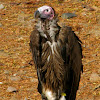 Old world Vulture