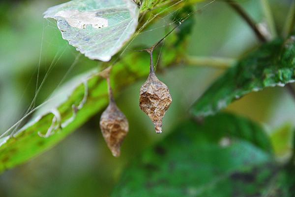 ? Spider Egg Case