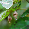 ? Spider Egg Case