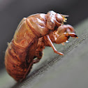 Cicada (Shell)