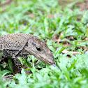 Clouded Monitor Lizard