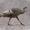 Amelanistic Wild Turkey