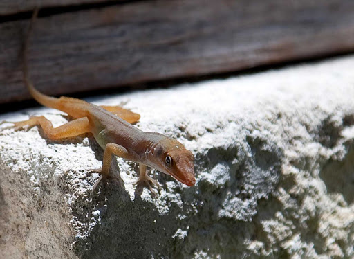 Antigua-lizard - Another of the photogenic lizards you'll find on Antigua.