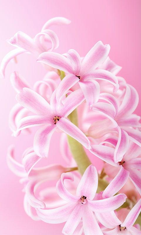Pink Flowers Live Wallpaper- screenshot