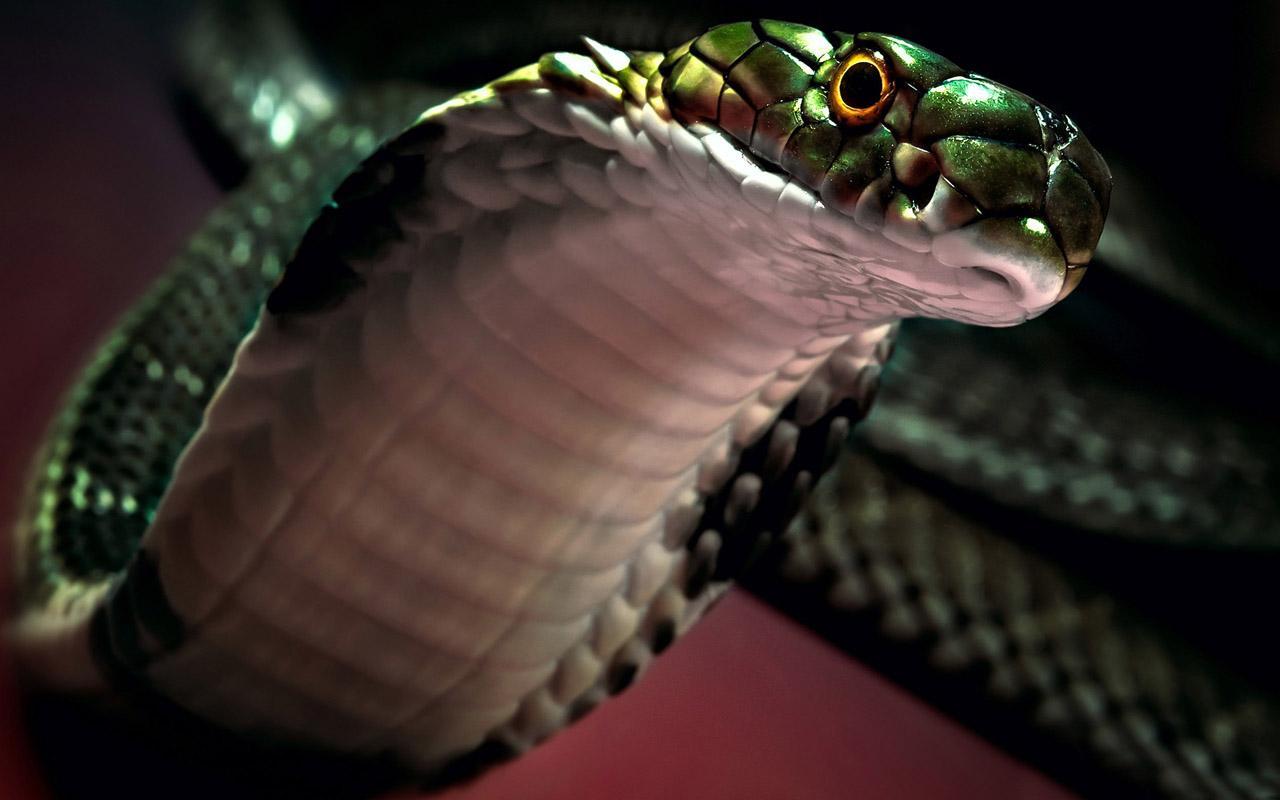 King cobra can store sperm