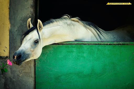 Egypt Horse