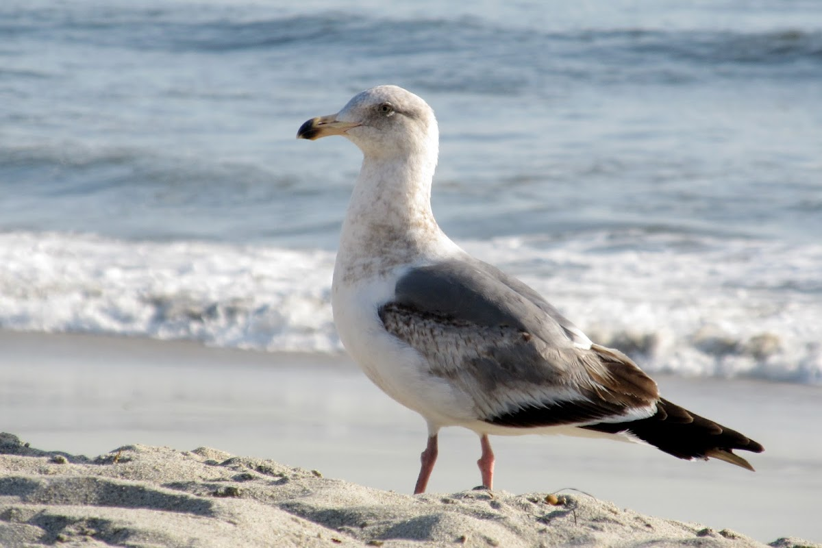 Ring Billed Gull