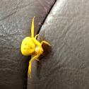 Yellow Flower Spider