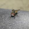 Urban Bowfly