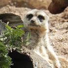 Meerkat- Suricata