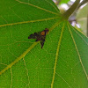 Tephritid Fruit Fly