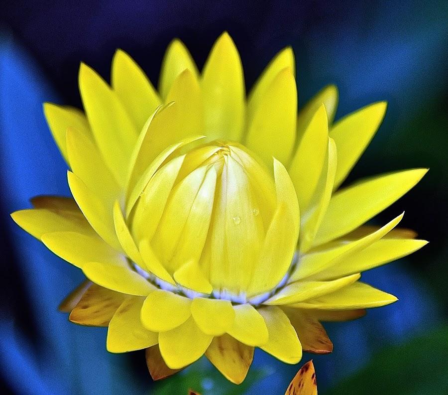 by Steven Aicinena - Flowers Single Flower (  )